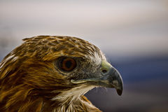 Red Tailed Hawk Profile. Profile shot of a red tailed hawk royalty free stock photography