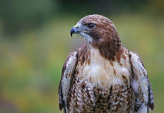 Red-tailed Hawk Profile Royalty Free Stock Images
