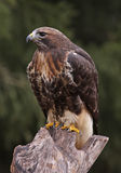 Red-tailed Hawk Profile Royalty Free Stock Photos