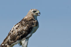 Red-Tailed Hawk Profile Royalty Free Stock Photography