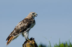Red-Tailed Hawk Profile Stock Photography
