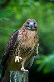 Red-tailed Hawk ready to hunt Royalty Free Stock Images