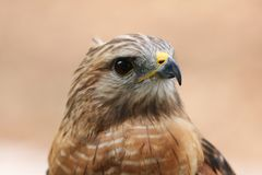 Red tailed Hawk. Head shot portrait close up royalty free stock photography