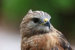 Red tailed Hawk. Head shot portrait close up stock photo