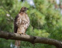 Red Tailed Hawk. In Pennsylvania Royalty Free Stock Image