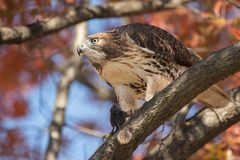 Red Tailed Hawk. In Pennsylvania Stock Photos