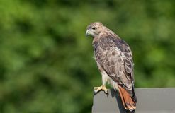 Red Tailed Hawk. In Pennsylvania Royalty Free Stock Photography