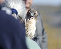 Red-tailed Hawk before release Stock Photos