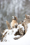 Red-tailed hawk resting on log. Red-tailed hawk resting and looking for prey royalty free stock photography