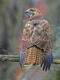 Red-Tailed Hawk. Resting on Tree Branch Stock Images
