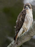 Red-Tailed Hawk. Resting on Tree Branch Stock Photos