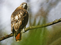 Red-Tailed Hawk. Resting on Tree Branch Stock Photography