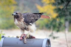 Red Tailed Hawk with Roadkill Royalty Free Stock Photos