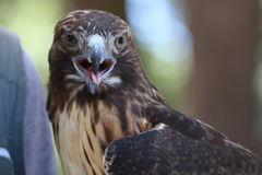 Red-tailed Hawk. This is a Red Tailed Hawk Stock Image