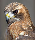 Red Tailed Hawk. A red tailed hawk side profile picture. Female Stock Image