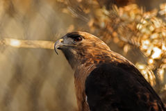 Red-Tailed Hawk Side View. A side-view of a beautiful red-tailed hawk Stock Photos