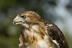 Red Tailed Hawk - Side View Royalty Free Stock Image