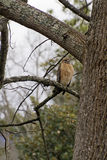 Red Tailed Hawk Sits On a Tulip Poplar Branch Stock Images