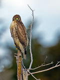 Red-Tailed Hawk. Sitting on a branch looking at camera Stock Images