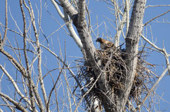 Red-Tailed Hawk Sitting On Its Nest Royalty Free Stock Images