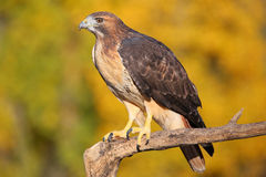 Red-tailed hawk sitting on a stick Stock Image