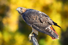Red-tailed hawk sitting on a stick Royalty Free Stock Images