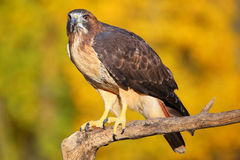 Red-tailed hawk sitting on a stick Stock Photo