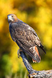 Red-tailed hawk sitting on a stick Stock Photos
