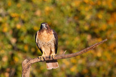 Red-tailed hawk sitting on a stick Royalty Free Stock Photos
