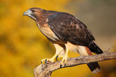 Red-tailed hawk sitting on a stick Royalty Free Stock Image