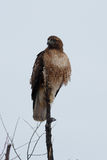 Red-tailed Hawk sitting on a stick Stock Photography
