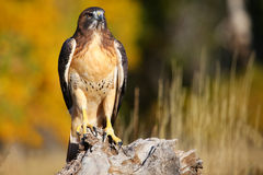 Red-tailed hawk sitting on a stump Stock Images