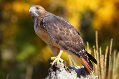 Red-tailed hawk sitting on a stump Stock Photo