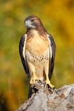 Red-tailed hawk sitting on a stump Royalty Free Stock Photo