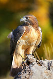 Red-tailed hawk sitting on a stump Royalty Free Stock Images