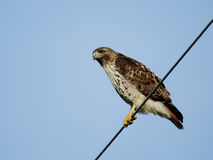Red-tailed hawk sitting on a wire. Stock Image