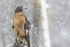 Red Tailed Hawk In The Snow Stock Image