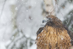 Red Tailed Hawk In The Snow Stock Photos