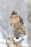 Red Tailed Hawk In The Snow Royalty Free Stock Photography