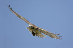 Red-tailed Hawk Soaring Royalty Free Stock Photos