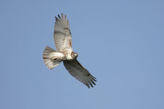 Red-tailed Hawk Soaring Royalty Free Stock Photo