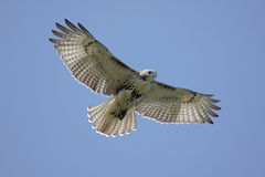 Free Red-tailed Hawk Soaring Royalty Free Stock Photos - 6603998