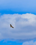 Red tailed hawk soaring against a bank of clouds Stock Images