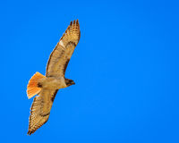 Red tailed hawk soaring against blue sky. Red tailed hawk soaring lliesurely against a blue sky keeping its eye on you Stock Photo
