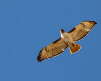 Red tailed hawk soaring against cloudless sky. Displaying its feathers Stock Image