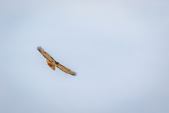 Red tailed hawk soaring against cloudy sky. Red tailed hawk soaring straight at you against cloudy sky Stock Photography