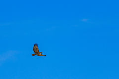 Red tailed hawk soaring against partly cloudy sky Royalty Free Stock Photos
