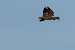 Red-tailed hawk soaring Stock Photography