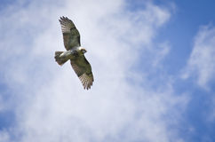 Red-Tailed Hawk Soaring in Cloudy Sky. A Red-Tailed Hawk Soaring High Across The Cloudy Sky Stock Photo