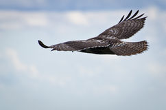 Red-Tailed Hawk Soaring in Cloudy Sky. A Red-Tailed Hawk Soaring Through the Cloudy Sky Stock Photos